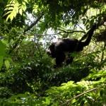 Brüllaffe in Palenque