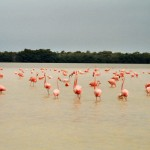 Celestun Flamingos Mexiko