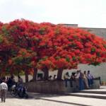 Feuerbaum Mexiko