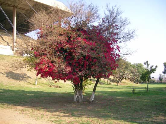 Korallenbaum in Mexiko