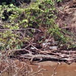 Krokodil im Sumidero Canyon (1)