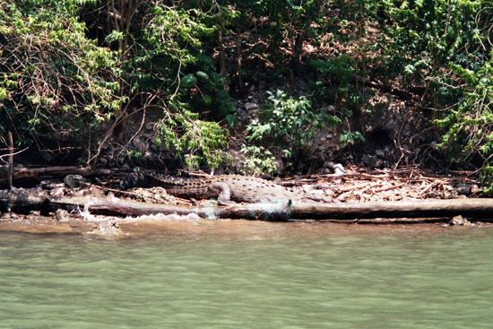 Krokodil im Sumidero Canyon Mexiko