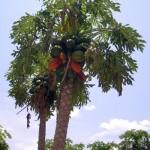 Papayapalme