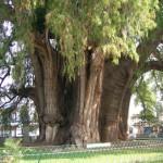 Ansicht vom Riesenbaum in Tule