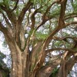 Riesenbaum Tule Mexiko