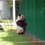 Panda auf der Suche nach Bambus