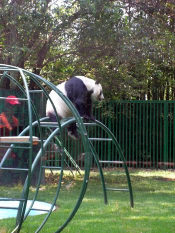 Panda im Zoo im Chapultepec Mexiko