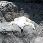 Eisbär im Zoo im Chapultepec Park